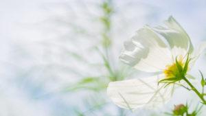 行政書士のバッジであるコスモスの花